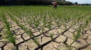 Dry Season and the Threat of Decreasing Quality of Rice. Foto: Pinterest