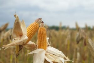 Penetrated Overseas Market, Here Are Some Interesting Facts About Hybrid Corn