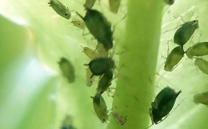 This Plant Has the Potential To Be a Host of Pests and Diseases