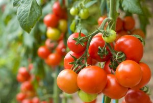 Secrets to Growing Tomatoes at Home
